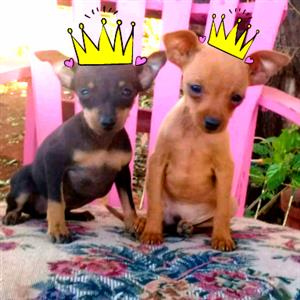 Miniature Doberman Pincher Bokkie Females
