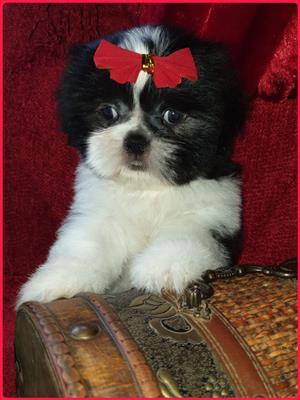 Pragtige Shih Tzu Puppies beskikbaar