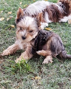 Blue Merle Yorkie puppy