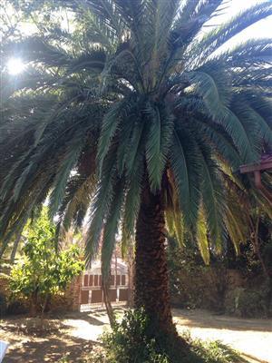 Big palm tree