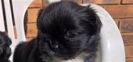 Pekingese puppies