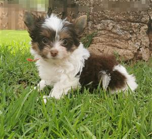 Small size Female Biro Yorkie puppy