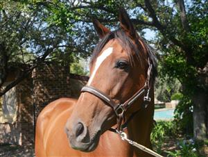 Stunning Thoroughbred Mare for sale