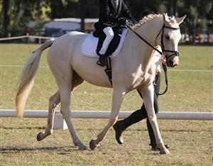 Gorgeous Palomino cross for sale.