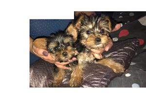 2x Male Yorkies (Brakpan) R1 200 each