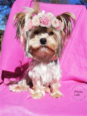 Blonde and silver Pedigree Yorkie puppies