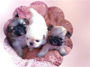 3 pekingese puppies for sale (2 x male & 1 x female)
