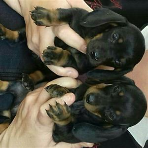 2 x Dachsund (worshond)  puppies for sale