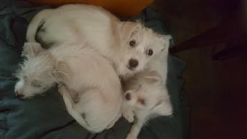 Maltese puppies - Male & Female - 3 months
