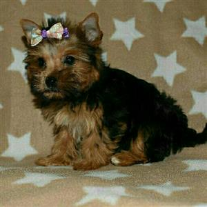 Traditional girl yorkie puppy