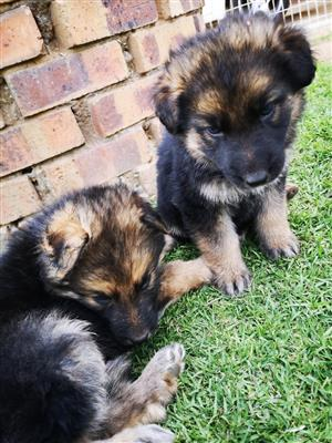 German Sheppard pups
