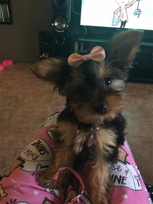3 month old female yorkie