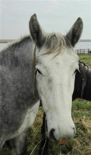 Beautiful Percheron Filly for sale