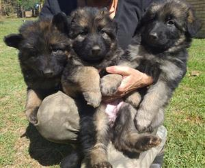 German Shepherd puppies long hair 8 weeks old
