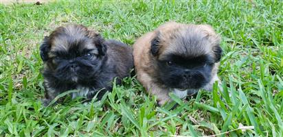 Adorable pekingese puppy for sale