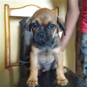 Pug crossed puppies