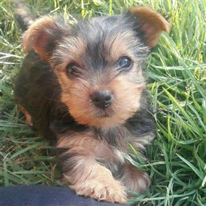 Beautiful small type yorkies