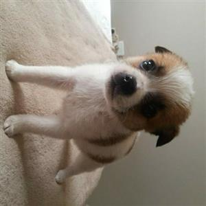 Jack Russell x Toypom