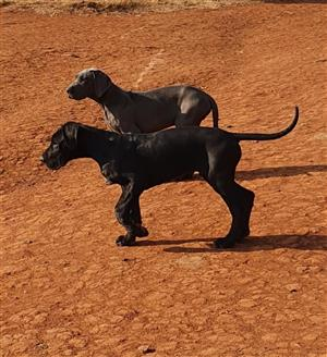 Outstanding purebred Great dane puppies