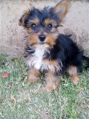 Beautiful Yorkshire puppy