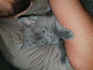 Smokey black persian mix kittens