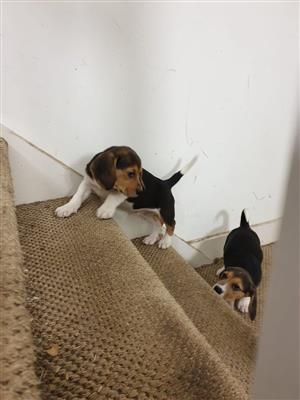 Beagle puppies looking for new homes