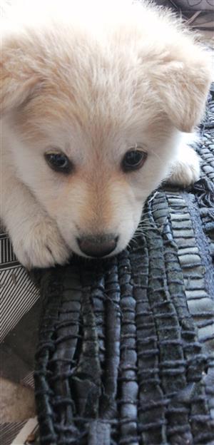 Labrador cross chow chow puppy