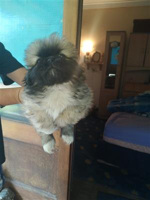 Beautiful Male Pekingese Puppy
