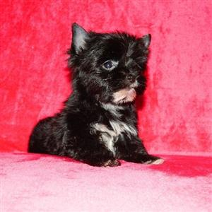 Pitch Black Yorkshire Terrier female puppy