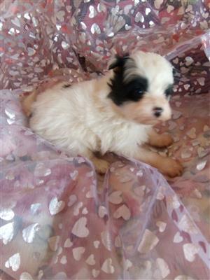 Pomeranian X Miniature Poodle