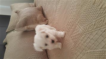 A MALE MALTESE PUPPY..