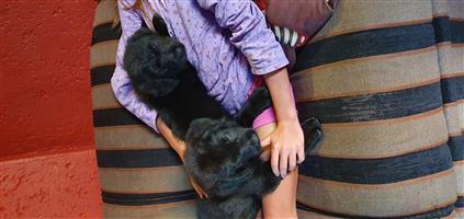 Black Russian terrier x labrador
