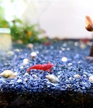 Sakura Red shrimps high grade