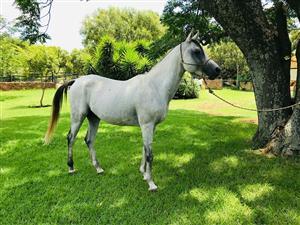 Arabian stallion registered