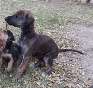 Greyhound/Windhond pups