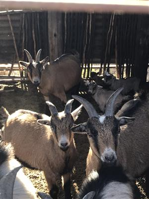 Miniature Cameroon Goats for sale