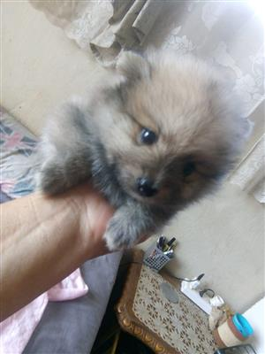 Pomeranian Female