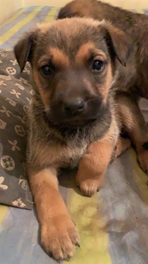 German shepherd X Labrador pups for sale