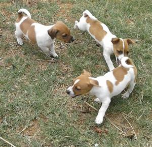 Jack Russell's to sell