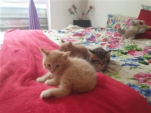 main coone kittens