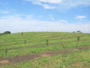 Large Stand with 300 Newly Planted Macadamia Trees for sale in Banners Rest,Port Edward