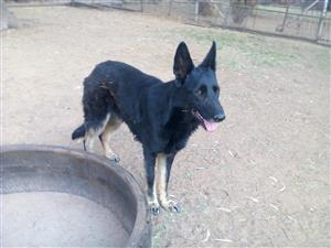 German Shepherd adult female