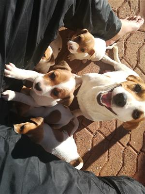 jack russell in Adopt a Dog or Puppy in Gauteng | Junk Mail