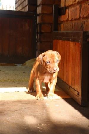 Registered Ridgeback puppies for sale
