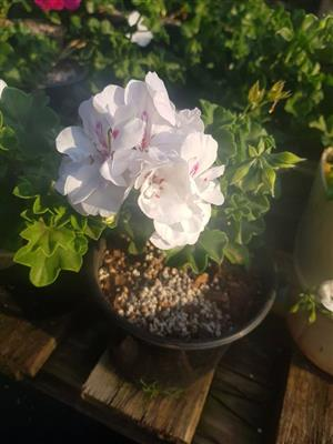 White and pink flower plant