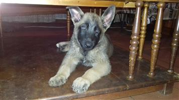 BELGIAN MALINOIS SHEPERD PUPPIES