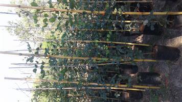 Carob Trees for sale