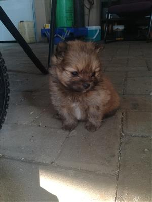 Toypom/ Pomeranian Puppies