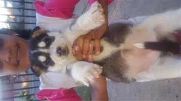 Siberian Husky Male Pups