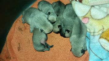 5 Pug puppies for sale